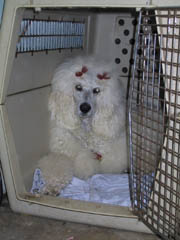 Dog Crate Training House Breaking crate training a dog
