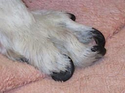 overgrown nails on dog